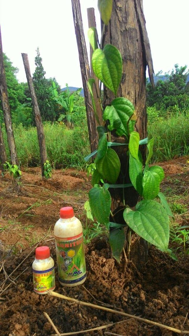 Cara Mengatasi Bunga Rontok Pada Lada Agromataram